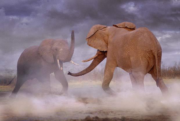 Dois elefantes são fotografados lutando em Botsuana. (Foto: Steve Bloom/Barcroft Media/Getty Images)