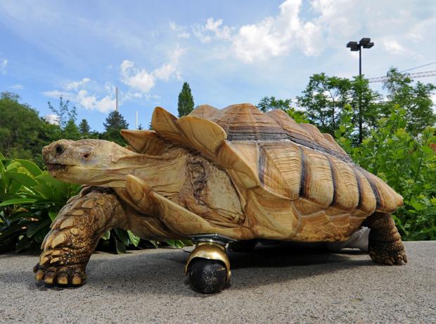 Imagem divulgada pela Universidade do Estado de Washington, nos Estados Unidos, mostra uma tartaruga de 12 anos exibindo uma prótese implantada no lugar da pata esquerda dianteira. Gamera, nome dado ao animal, sofreu intervenção cirúrgica para implantar a peça depois que sua pata foi amputada devido a uma infecção. A tartaruga está na cidade de Pullman, em Washington. (Foto: Henry Moore/AP)