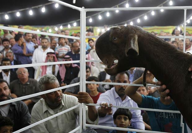 """""""Wasieef"""" foi eleita a mais bela cabra do concurso. (Foto: Ali Jarekji/Reuters)"""