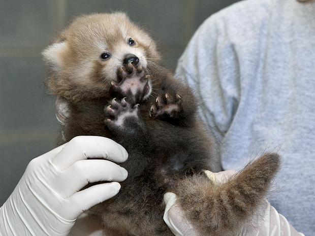 生まれたばかりのレッサーパンダ