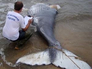 filhote de baleia jubarte (Foto: Divulgação/ Pat Ecosmar)