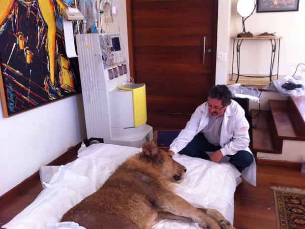 Leão faz tratamento; ele morreu nesta quarta (Foto: Caroline Hasselmann/G1)