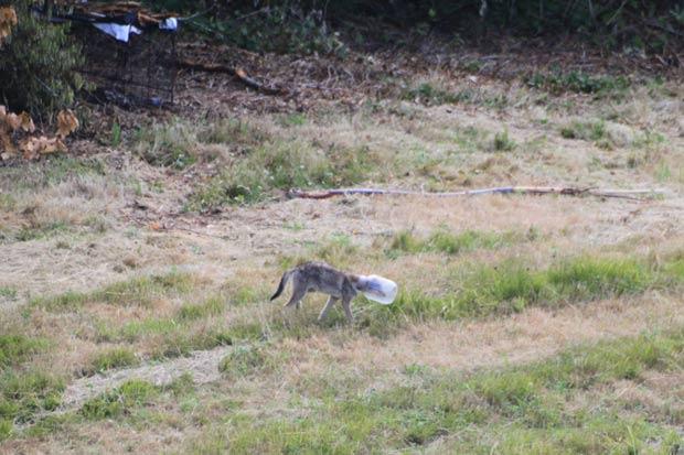 Coiote foi flagrado com a cabeça entalada em pote de plástico. (Foto: Patty Porcaro/AP)