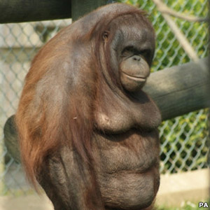 A fêmea de Orangotango Oshine (Foto: PA)