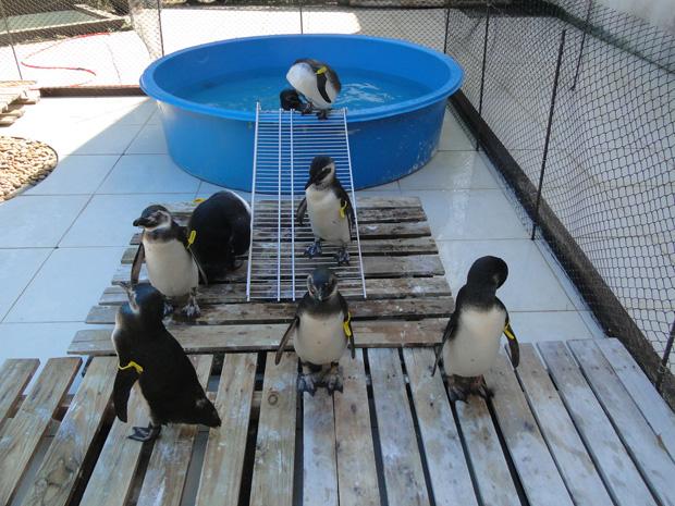 Pinguins recebem cuidados no Ipram. (Foto: Luis Felipe Mayorga / Divulgação / Ipram)