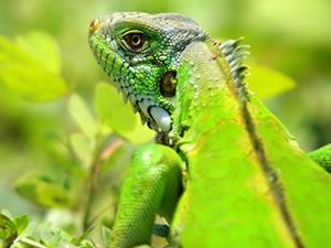 Iguana (Foto: Fernando Lara)
