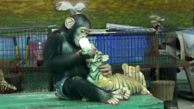 Chimpanzé alimenta filhote de trigre no zoo de Bancoc (Foto: Reprodução / BBC)