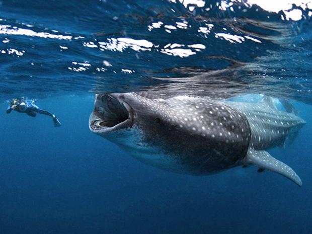 Pesquisador faz imagem de exemplar de tubarão-baleia, que pode medir até 12 metros de comprimento (Foto: Mauricio Handler/nationalgeographic.com/news )