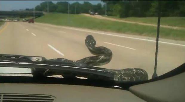 Cobra apareceu no para-brisa quando família dirigia por estrada em Memphis. (Foto: Reprodução)