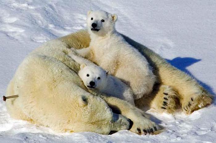 Uma família de ursos polares foi alvejada com tranquilizantes e retirada da cidade canadense de Churchill após revirar latas de lixo do local (Foto: Caters/BBC)