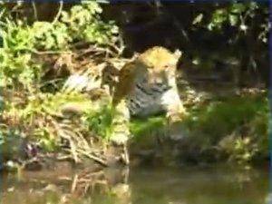 Turistas registram rara imagem de onça pintada na beira de rio em MS (Foto: Reprodução/TV Morena)