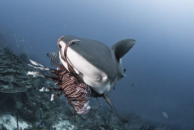 Tubarão cinzento-dos-recifes devora peixe-leão. (Foto: Antonio Busiello/Barcroft Media/Getty Images)