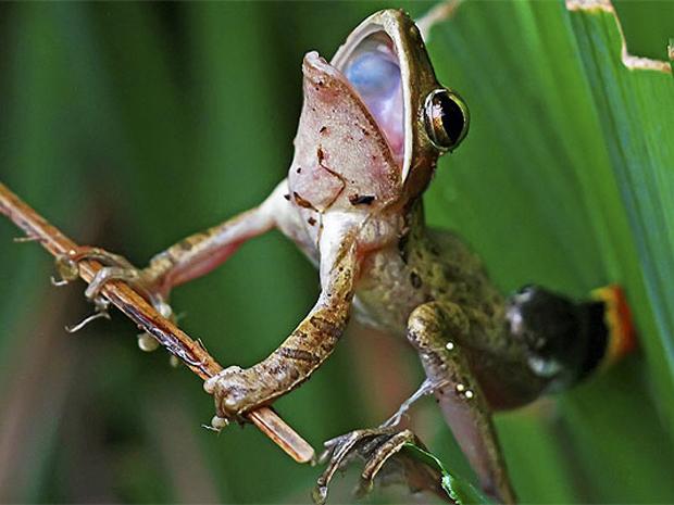 Foto de ataque de cobra a sapo no jardim de uma casa em Jacarta, na Indonésia (Foto: Solent/BBC)