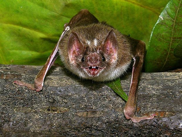 Morcego-vampiro estudado pelos pesquisadores  (Foto: Pascual Soriano )