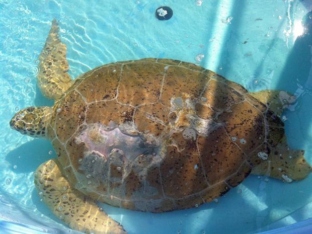 A tartaruga-marinha após cirurgia. Biólogos vão devolver exemplar ao mar nesta quarta-feira (3), nos Estados Unidos (Foto: Loggerhead Marinelife Center/BBC)
