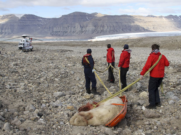 Urso polar é arrastado após ser morto. O arquipélago de Svalbard tem 2.400 habitantes e 3 mil ursos. (Foto: AP)