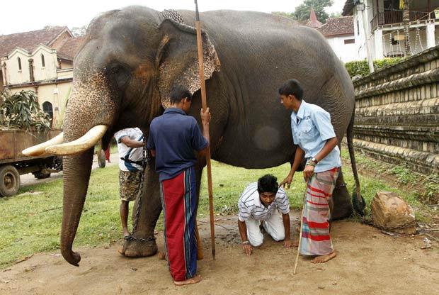 Cingalês passa por baixo de elefante, pois acredita que isso lhe trará sorte, neste sábado (6), em um templo em Kandy, no Sri Lanka. Os elefantes são considerados sagrados no Sri Lanka. (Foto: Eranga Jayawardena/AP)