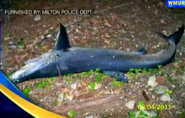 Tubarão morto foi encontrado em uma floresta em Milton. (Foto: Reprodução)