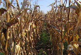 Clima provoca quebra da safra de milho em MS, apontam produtores (Foto: Reprodução/TV Morena)