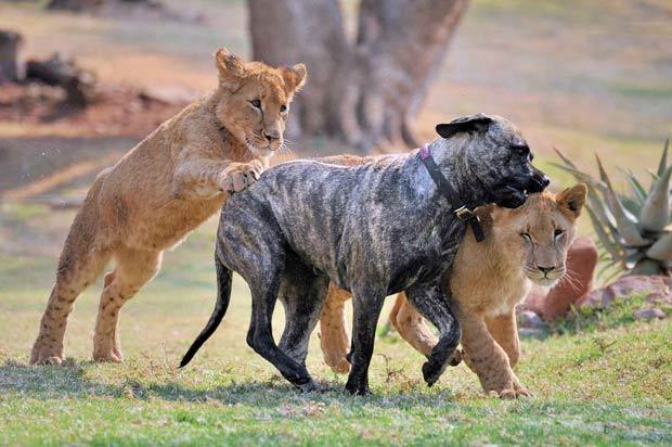 Graças à ajuda de 'Beth', cinco leões foram introduzidos com sucesso na natureza. (Foto: Matthew Tabaccos/Barcroft Medi/Getty Images)