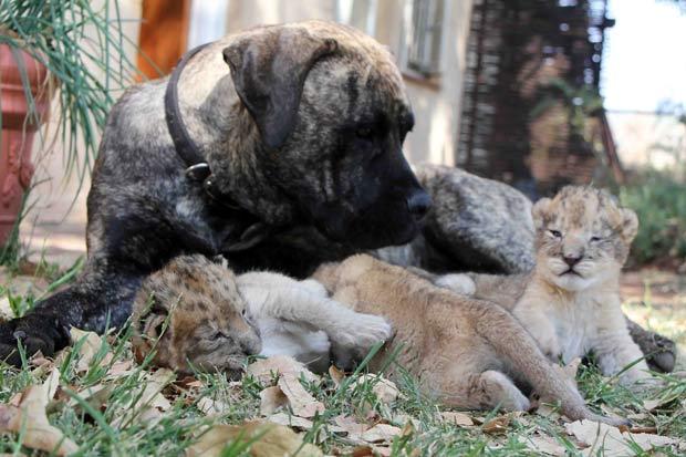 Cadela chamada 'Beth' virou uma espécie de babá para filhotes de leão. (Foto: Matthew Tabaccos/Barcroft Medi/Getty Images)
