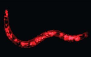 Nemátodo DNA artificial 1 (Foto: BBC)