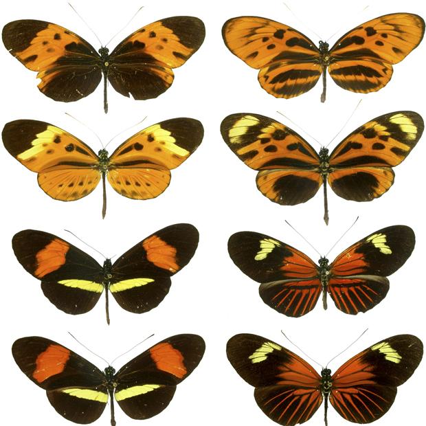 As duas primeiras fileiras mostram borboletas da espécie Heliconus numata; na terceira fileira é possível ver dois exemplares da espécie Heliconus melpomene e na última fileira se encontram duas borboletas da espécie Heliconus erato. (Foto: Reprodução/PLos Biology)
