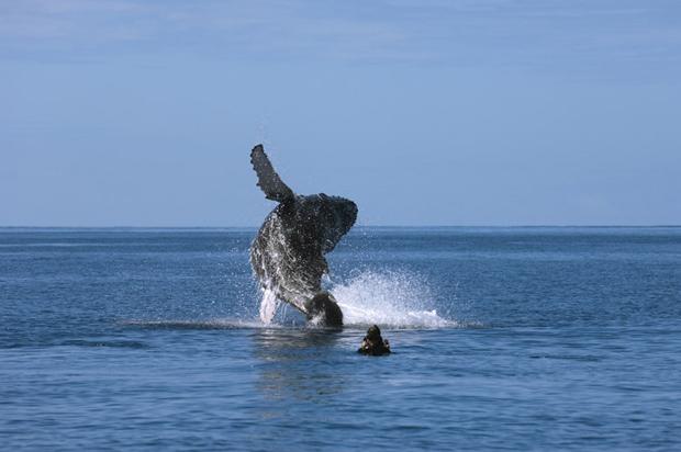 """Segundo Nicklin, ele começou a se interessar por baleias quando seu pai ficou famoso ao ser fotografado montado em uma baleia, enquanto tentava libertá-la de um anzol (Foto: © Flip Nicklin, do livro """"Among Giants"""" / via BBC)"""