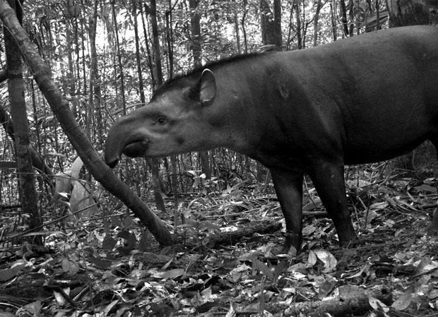 Anta flagrada perto de Manaus no primeiro estudo global de armadilhas fotográficas para mamíferos. (Foto: TEAM Network/Divulgação)