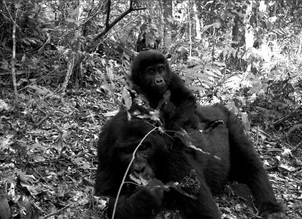 Gorila com filhote na floresta de Uganda. (Foto: TEAM Network/Divulgação)