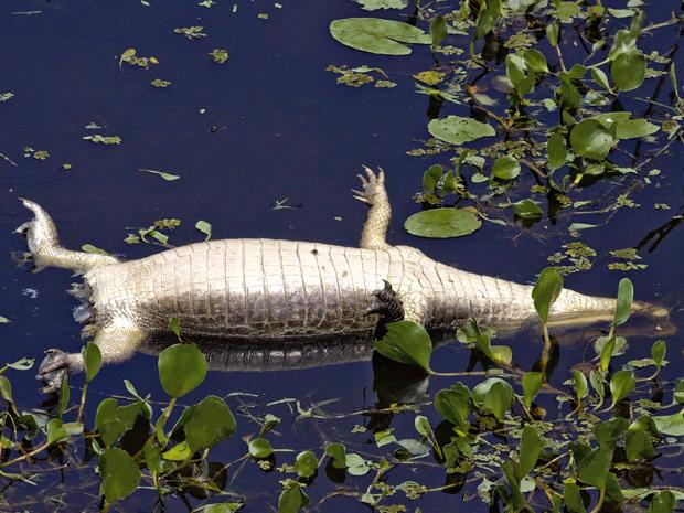 Imagem de corpo de jacaré-do-pantanal encontrado sem a cauda no Rio Miranda, na região de Passo do Lontra (MS) (Foto: Divulgação/Marcello Yndio)