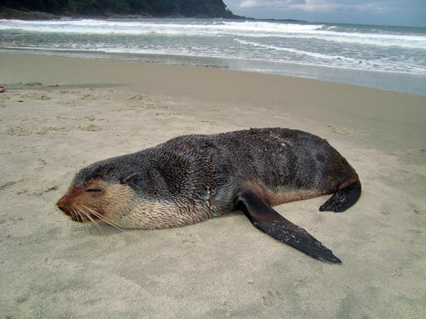 Com 1,20 m de comprimento, o mamífero não tinha ferimentos e foi levado para o aquário de Ubatuba, onde será monitorado por veterinários. O animal vive em regiões de baixa temperatura na América do Sul (Foto: Ricardo Faustino/Prefeitura de São Sebastião)
