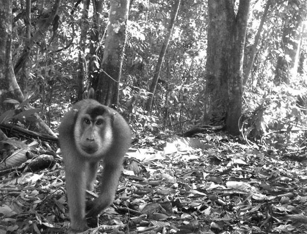 Espécie ameaçada de macaco na Indonésia. (Foto: TEAM Network/Divulgação)