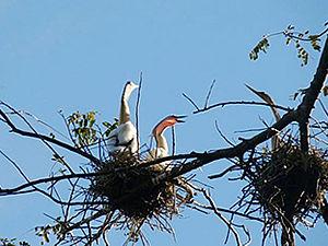 Novos ninhos foram registrados durante a pesquisa (Foto: Marcos Ferramosca/Sema-MT)