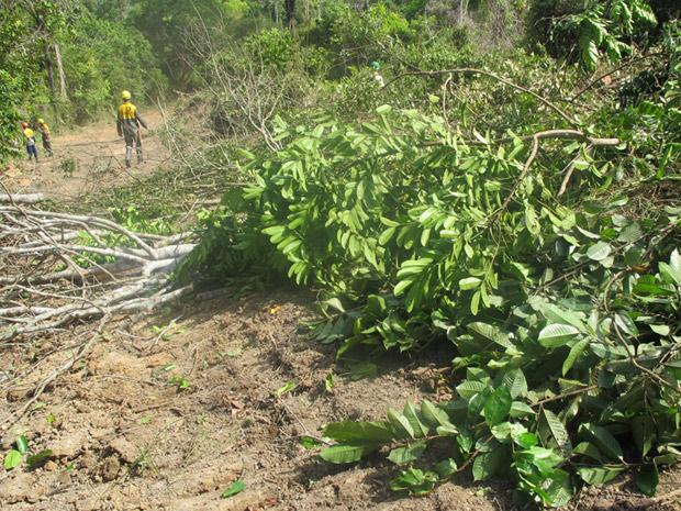 Árvores derrubadas para alargamento de estrada que dá acesso aos acampamentos e à Transamazônica (Foto: Mariana Oliveira / G1)