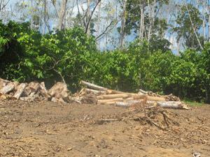 Norte Energia ainda não tem destinação definida para a madeira obtida após derrubada de árvores (Foto: Mariana Oliveira / G1)
