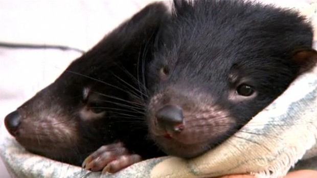 Diabos da tasmânia (Foto: BBC)