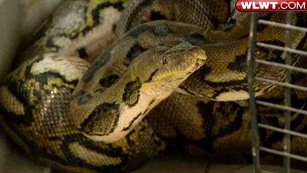 Píton de 4,2 metros de comprimento e quase 60 quilos foi achada emquintal de casa. (Foto: Reprodução/WLWT)