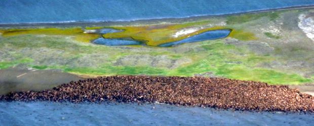 Imagem divulgada nesta sexta-feira de um aglomerado de morsas na costa do Alasca. Derretimento do gelo em regiões com água rasa tem fomentado a migração destes animais marinhos para ambientes terrestres (Foto: AP)