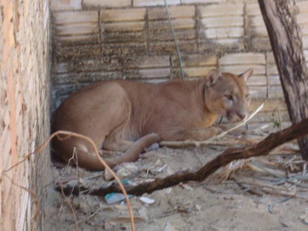 Espécie de onça foi mantida em quintal de moradores de Bitupitá, litoral do Ceará (Foto: Tadeu Nogueira/Camocim Online)