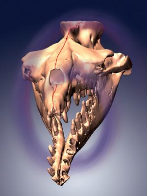 Crânio de um archaeceto, com a inclinação para a esquerda indicada pelas curvas roxas. (Foto: Julia M. Fahlke)