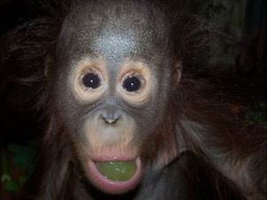 Orangotangos Bornéu 1 (Foto: Chester Zoo / via BBC)