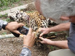 Sertanista olha cadela e onça mortas em base da Funai (Foto:  Arquivo pessoal/José Carlos dos Reis Meirelles)