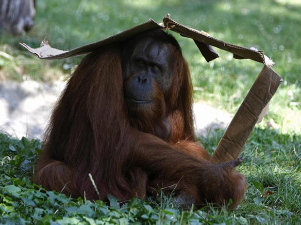 Um orangotango improvisou um abrigo de folhas para se proteger do sol (Foto: Bernadett Szabo/Reuters)