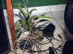 orquídeas (Foto: Fernando Sousa/ Nativa News)