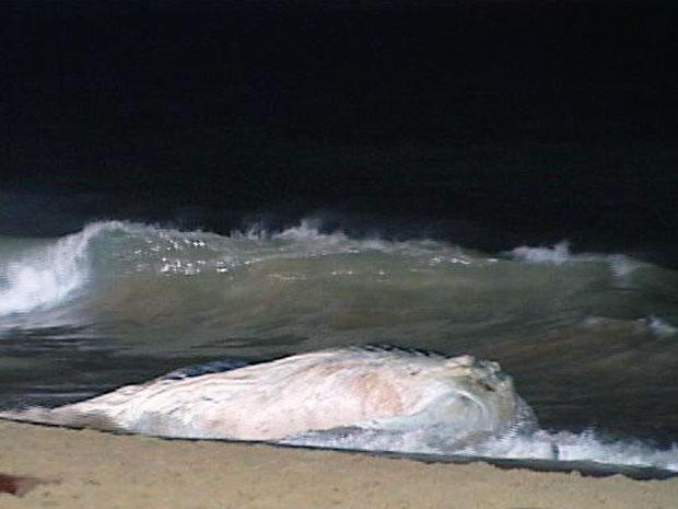 Filhote de baleia jubarte encalhou na Praia de Itapoã, em Vila Velha. (Foto: Reprodução/TV Gazeta)