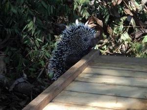 ouriço-cacheiro (Foto: Juína News)