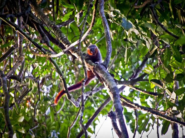 Nova espécie foi encontrada Reserva Extrativista Guariba-Roosevelt, no noroeste do Mato Grosso. (Foto: Júlio Dalponte)