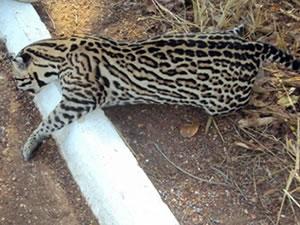 Jaguatirica é encontrada morta em estrada de MT (Foto: Edson Barbosa / Site Poconet)