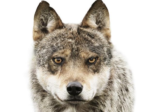 Exemplar de lobo-cinzento que também posou para o fotógrafo (Foto: Morten Koldby/BBC)